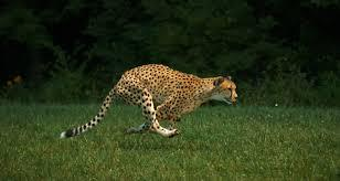 De Wildt Cheetah